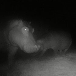 New hippo calf spotted on Agulhas Plain