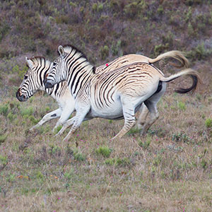 Why do zebra have stripes?