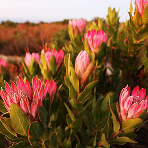 Fynbos Forum: Hippos, wetlands, wine (and of course Fynbos)