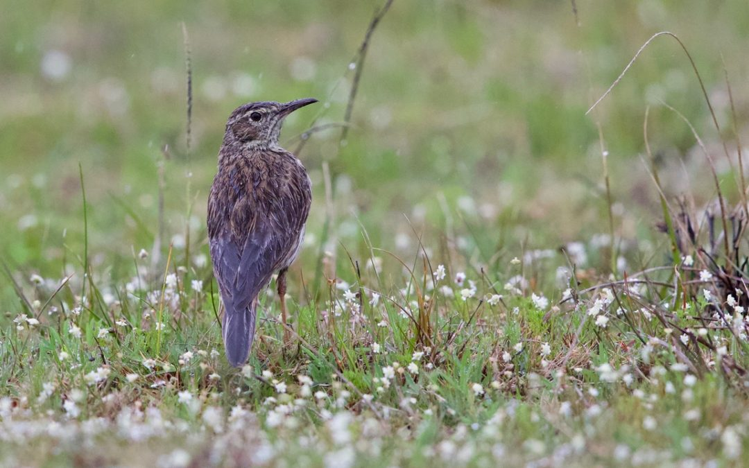 A good news story: The Agulhas Long-billed Lark